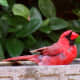 Cardinal in our birdbath