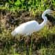 Great egret bird in the wetland garden