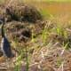 Tricolored Heron in the wetland garden