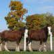 Friendly draft horses