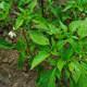 The Capsicum annum Plant