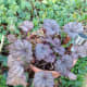 Heuchera - popular for the colour of their leaves