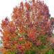 Bradford Pear Tree beginning to turn colors