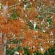 Bald Cypress tree leaves