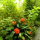 Bright-orange Clivia blossoms stand out beautifully from surrounding greenery.