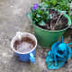 Here's my blended food waste in a jug ready to pour around my plants.
