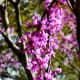 Flowers on a redbud tree