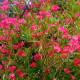 southern-beauty-oleander-pictures-hardy-and-evergreen-shrubs