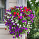 Petunia basket. This shows how attractive petunias can be when hanging from the roof of a balcony.