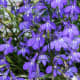 Trailing Lobelia, Lobelia erinus, native to southern Africa. It comes in many different colors, including blue, white, and pink.Because of its fairly short stems, lobelia is best in hanging baskets.