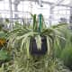Spider Plant, Chlorophytum comosum, native to tropical areas of Southern Africa. This plant grows well outside in the shady part of my Southern California garden.