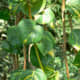 Pothos, Epipremnum aureum, native to French Polynesia, where it grows huge in the wild.