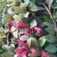 Lipstick vine, Aeschynanthus acuminatus, native to Asia.