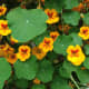 Trailing nasturtium, Tropaeolum majus, native to Central & South America. This an annual, so you can try it out and then plant something else, if it doesn't work in your location.
