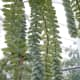 Burro's Tail, Sedum morganianum, is native to Central America. Its stems can grow to two feet long.