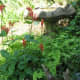 Does well in naturescaping paired with other shade loving plants like Maidenhair fern.
