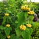 Turkish sage stalks provide interest even when blooms aren't present.