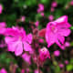Why not add red campion to your garden for a splash of early spring color?