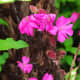 Red campion blooms earlier than most other flowers in the garden, creating eye-catching clumps of pink in an otherwise sleepy sea of green.
