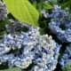 Flagging blue hydrangea blossoms.