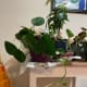 The pothos is what many people think of when they think of house plants. These plants are very easy to grow. Sadly, they are toxic to dogs and cats.