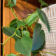 The heart leaf philodendron is beautiful trailing plant. They are easy to grow and require very little work. They are toxic to dogs and cats.