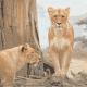 Lion photo converted to colored ASCII symbols.