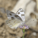 white-yellow-butterfly-identification