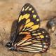 Chiricahua pine white, female