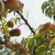 Mature peach trees grow peaches in clusters. One mature tree can produce dozens to over a hundred peaches. That's a lot of peaches.