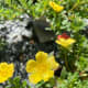 Yellow moss rose.