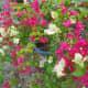 Flourish bougainvillea.