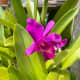 In Malaysia, it is popularly known as an orchid. If you have the orchids indoors, the best is to place them in an east to south-facing window or room. These plants prefer bright, indirect light. My mother grew them outdoor, however.