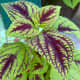 Coleus is a tropical plant grown that is known for its beautiful foliage. It is a type of plant that is widely grown in Malaysia. As you can see from the photo, my mother has a mixture of coleus in her garden.