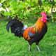 Kauai wild chicken