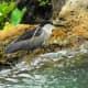 Garden Pond Night Heron