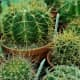 Seen here are Ferocactus Cactus varieties.