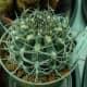 Seen here is a Neoporteria clavata Cactus.