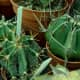 Seen here are Astrophytum ornatum (two on the left side) and Astrohpytum capricorne Cactus (on the right side).
