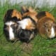Two rough-haired and one smooth-haired tortoiseshell and white guinea pigs.