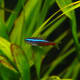 Notice that the neon tetra's red stripe extends to only halfway across the body.