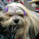 The Lhasa Apso is one of the best dog breeds for senior citizens.