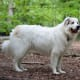 A Great Pyrenees at ease.