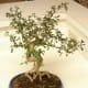 A seriss bonsai, or snow rose