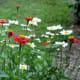 Zinnia & shasta daisies
