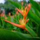 "Heliconia psittacorum x Spathocircinata ""Flame""."