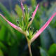 "Heliconia psittacorum ""Pearl""."