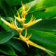 """Heliconia psittacorum """"Golden Torch""""."""