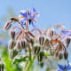 What Does Borage Look Like?