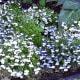 Sun-loving white Lobelia (annual/biennial)